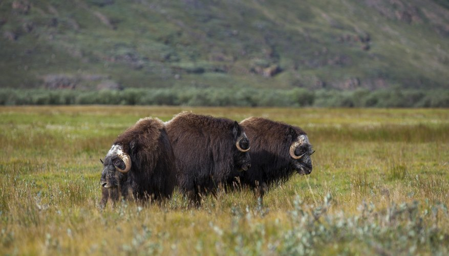 Musk oxen in the arctic tundra in Greenland.