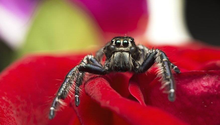 Jumping spiders do not spin webs.