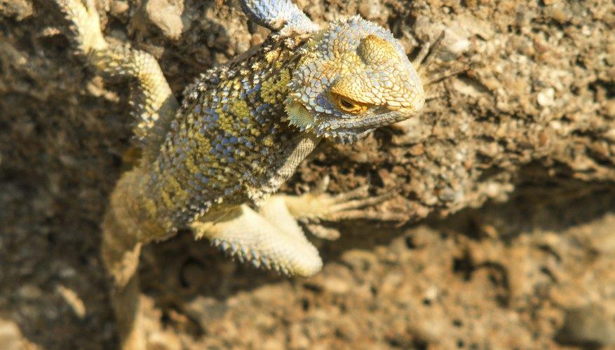 A lizard climbs a boulder in the sunlight.
