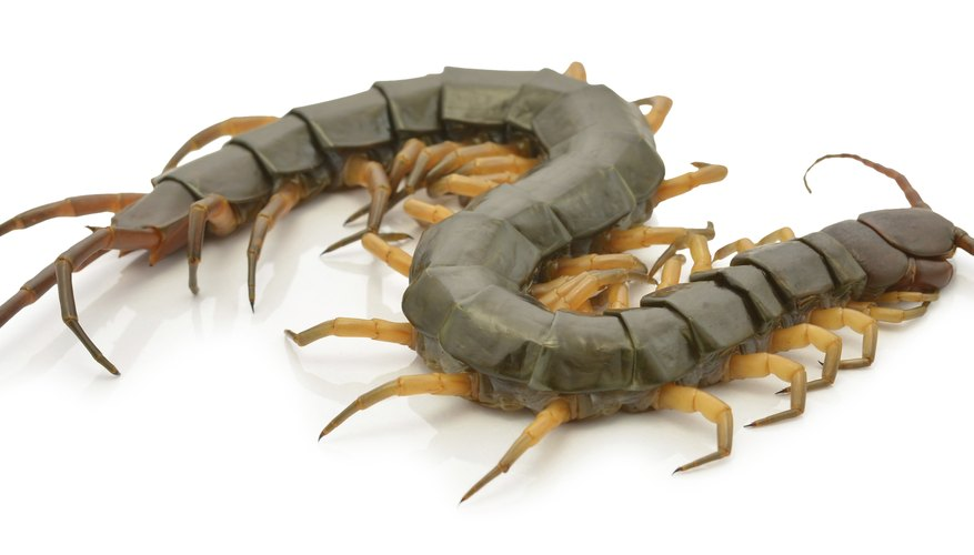 Despite the name, most centipedes actually have closer to 30 legs than 100.