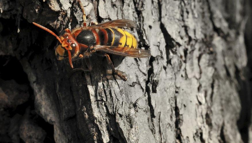 Hornet on tree
