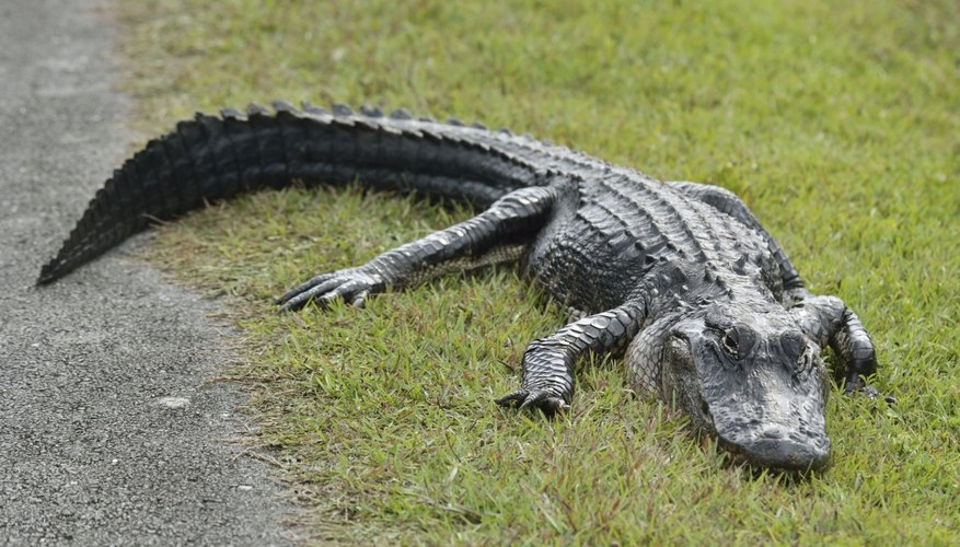 American alligators are one of two crocodilians native to the United States.
