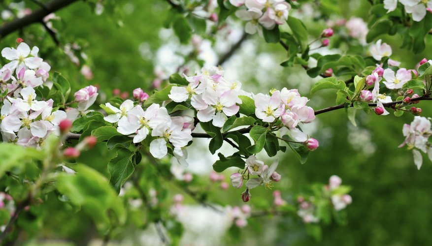 Apple tree blossom.