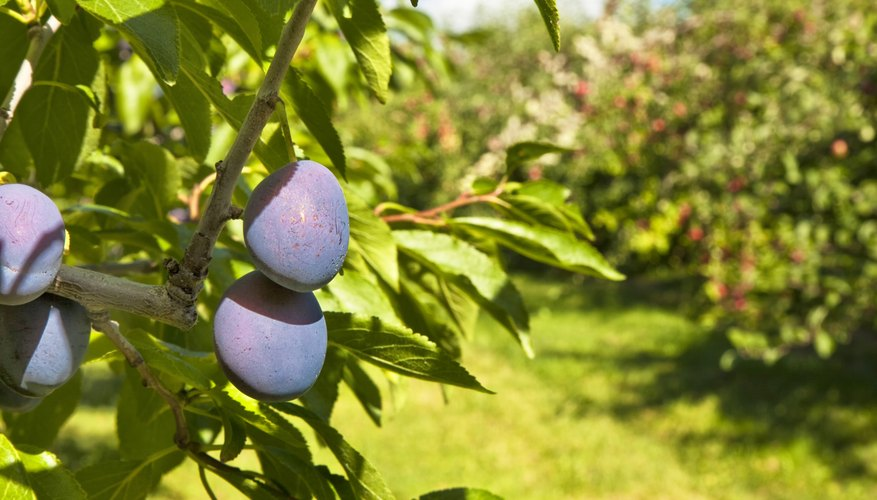 Plum trees grow in a sunny orchard.