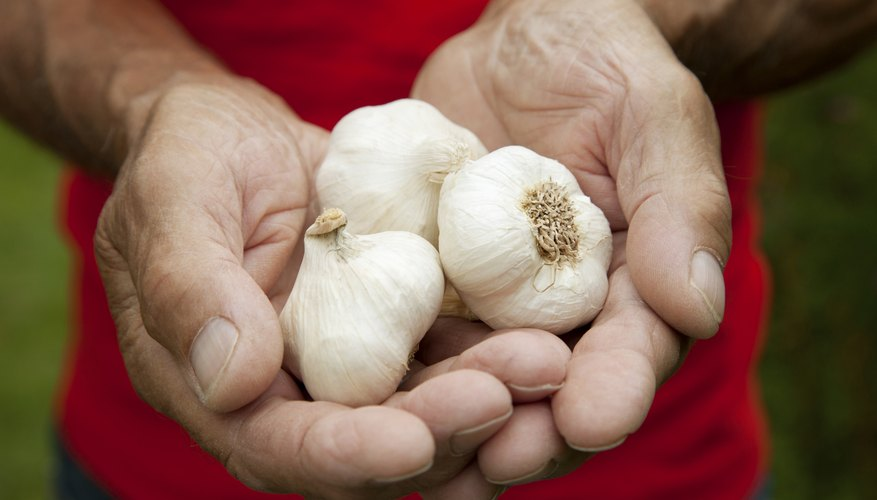 Planting early helps to ensure a good garlic harvest.