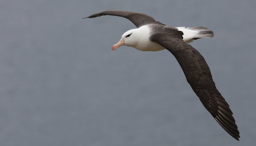 Some evidence suggests black-browed albatross may shadow orcas at sea.