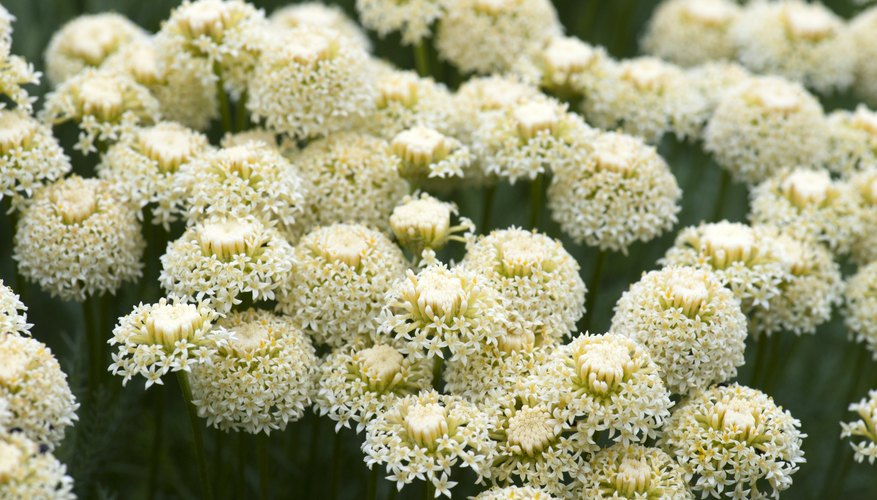 A cluster of white yarrow flowers growing in a field.