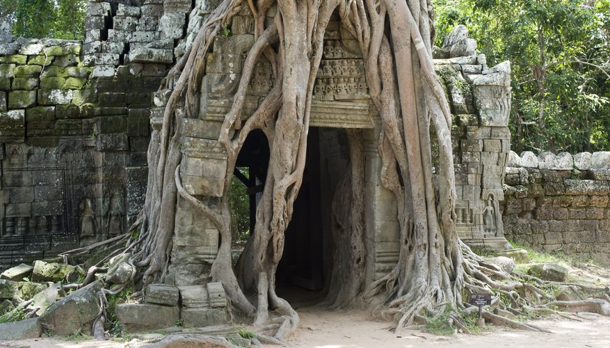 A strangler fig tree grows over the entrance of an ancient temple.