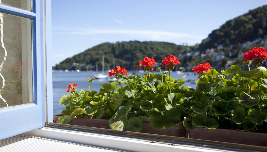Red geraniums grow in a sunny window box.