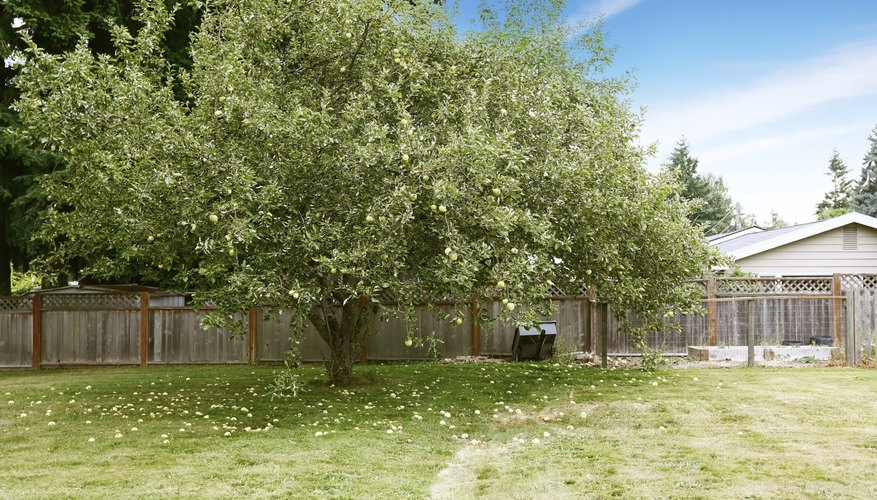 An apple tree growing in a backyard.