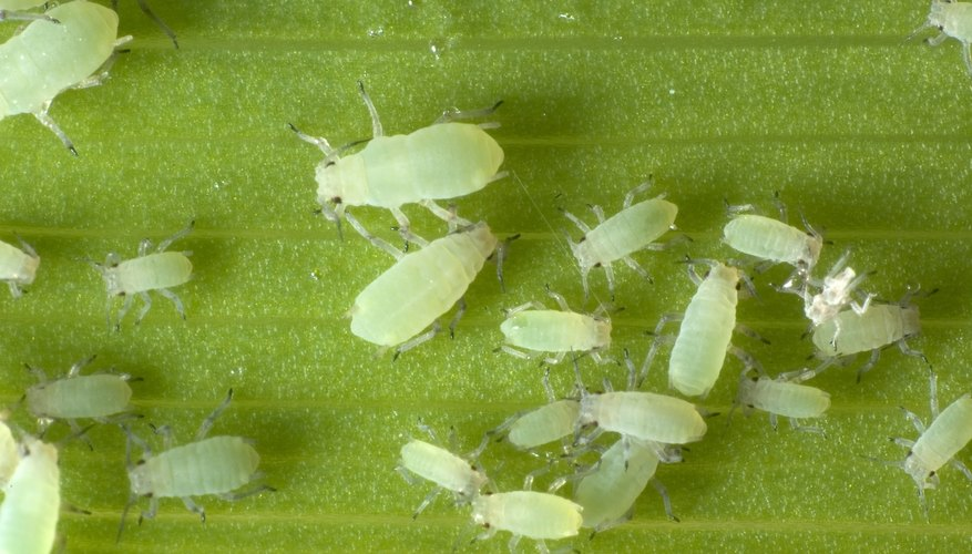 Green aphids on a leaf.