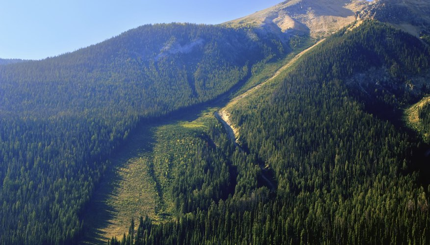 On forested mountainsides, avalanche chutes stand out.