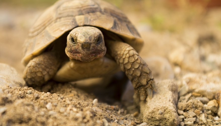 What Do Tortoises Eat