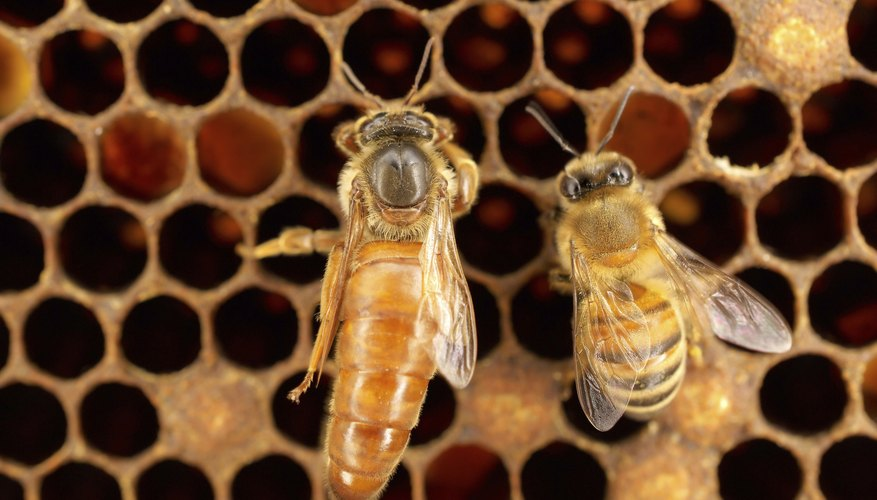 how to produce queen bees