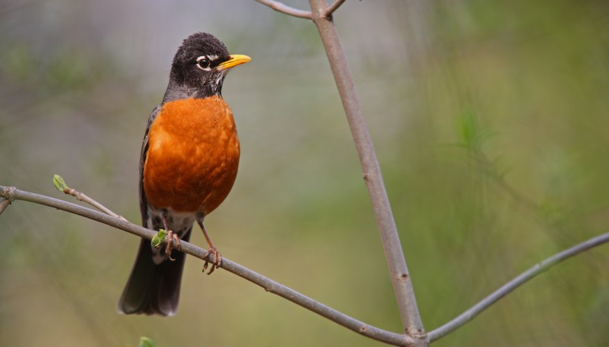 American robin perched on tree branch.