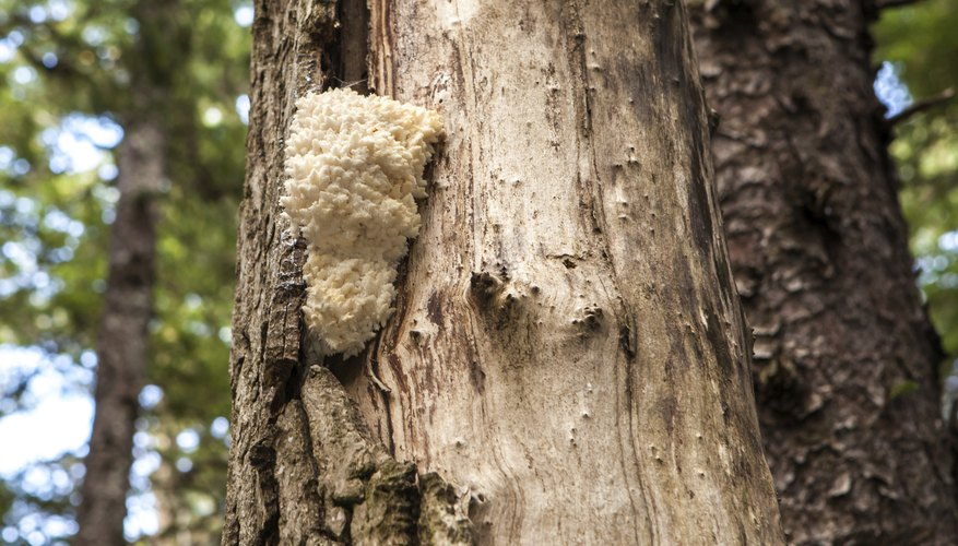bearded tooth mushroom on tree