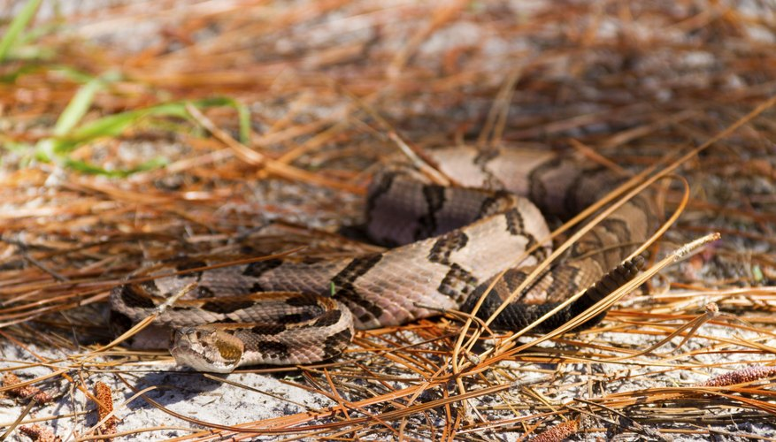Canebrake rattlesnakes are associated with native U.S. bamboo stands.