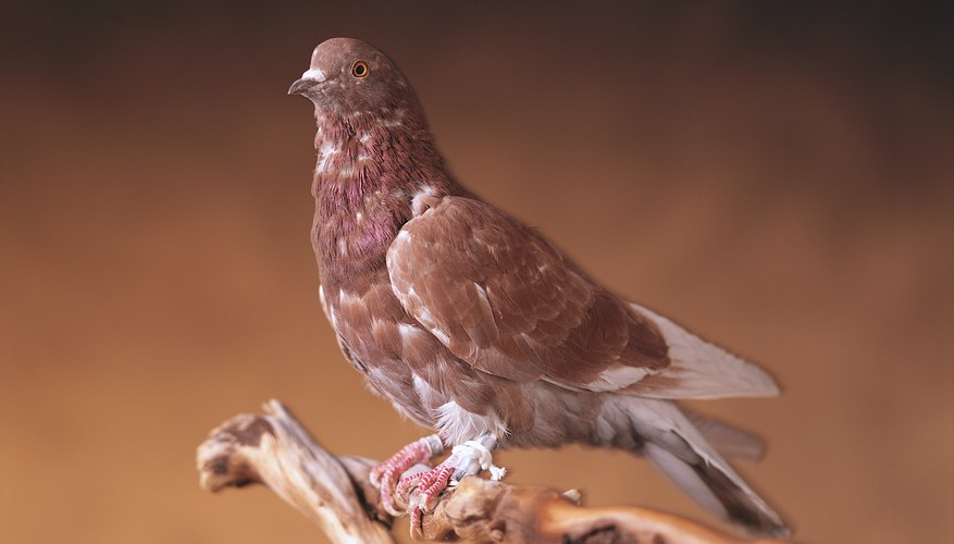 Carrier pigeons are trained to deliver messages.