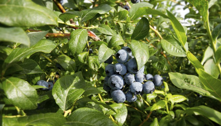 Typically, blueberry plants suffer from fewer diseases than other fruits.