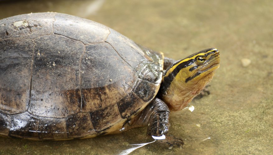 The Gulf Coast box turtle can also have white blotches on the head and it is the largest of all box turtles