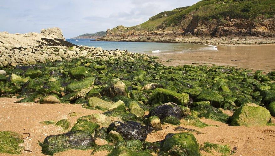 Algae growing on a rocky shore.
