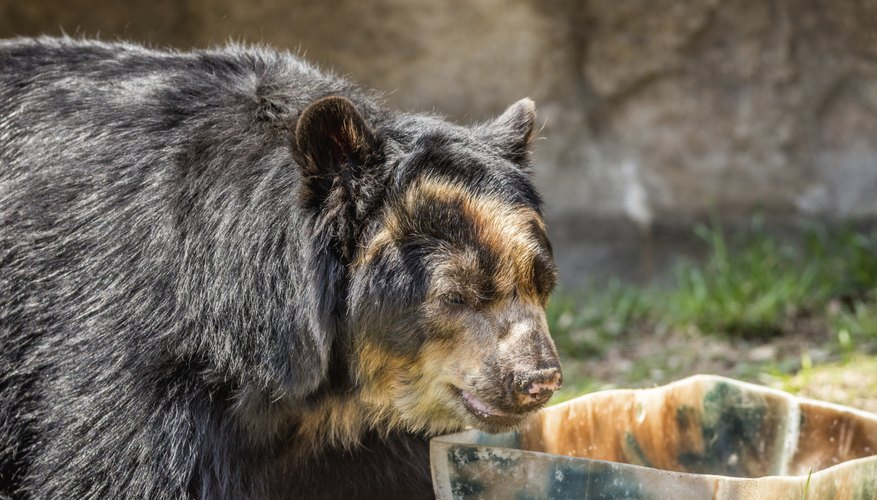 The spectacled bear is native to Colombia.