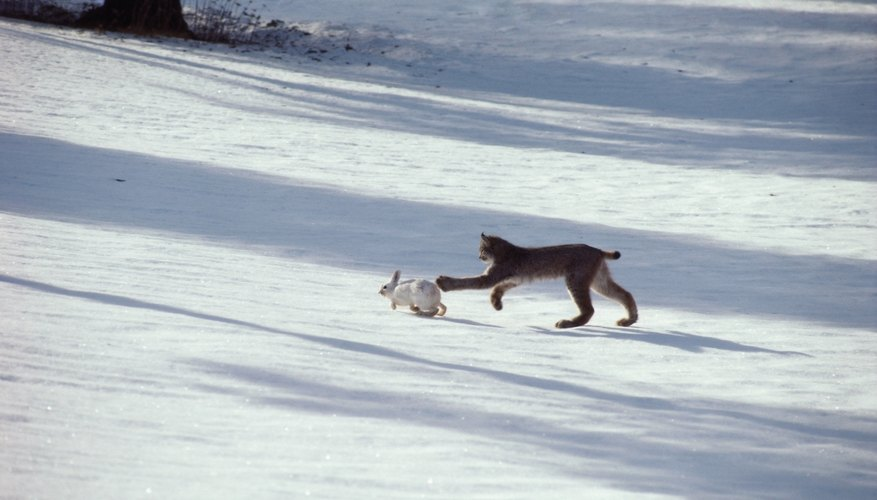 A bobcat chases a white hare in the snow.