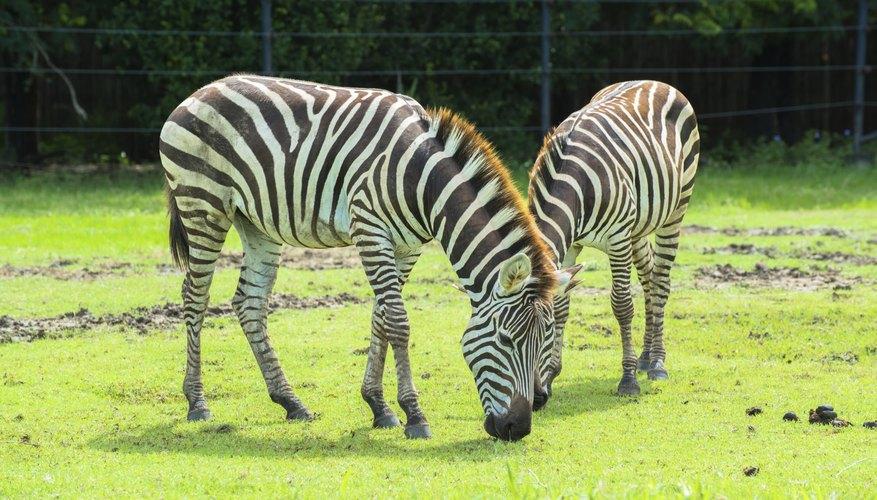zebras eating grass