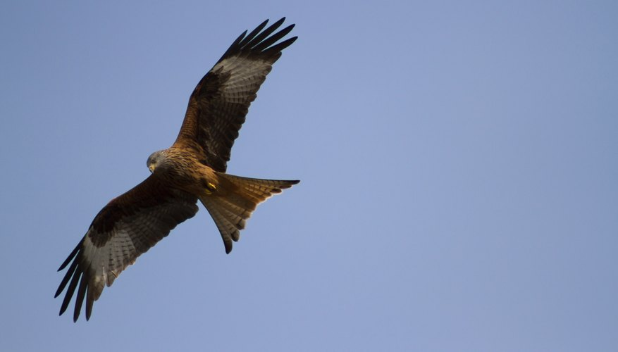 Red Kite Hawks are medium-sized hawks often found throughout Europe.