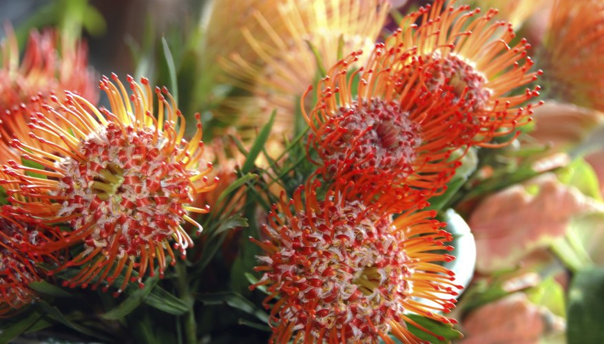 A blooming pot of orange protea flowers on the patio.
