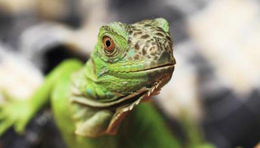 Acercamiento de una iguana verde.