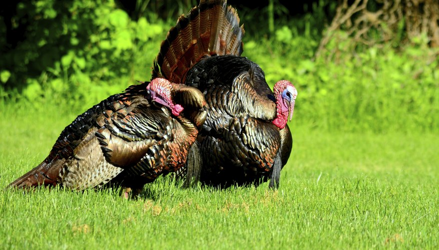 A pair of wild turkeys.