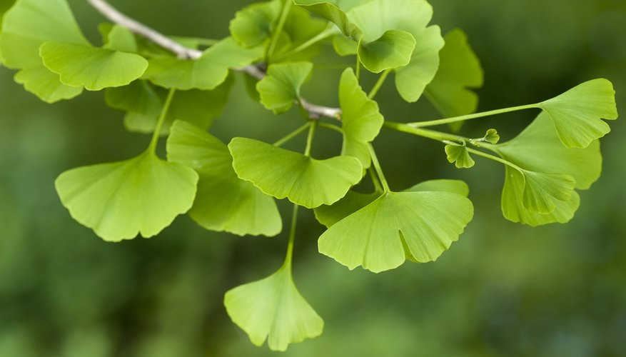Maidenhair tree tolerates most soil types and air pollution.