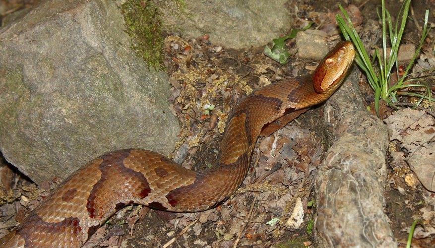 Copperhead snake.