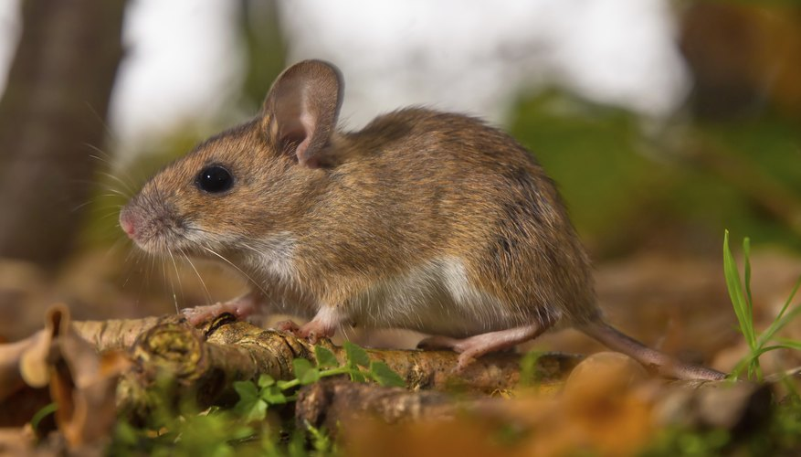 Yellow necked mouse on the forest floor