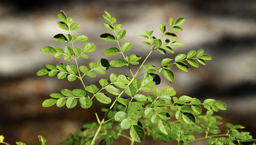 Malunggay are sometimes called moringa or