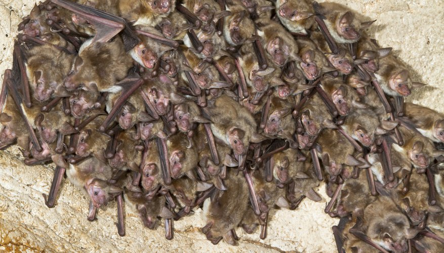 Bats share a fungus that causes white-nose syndrome.