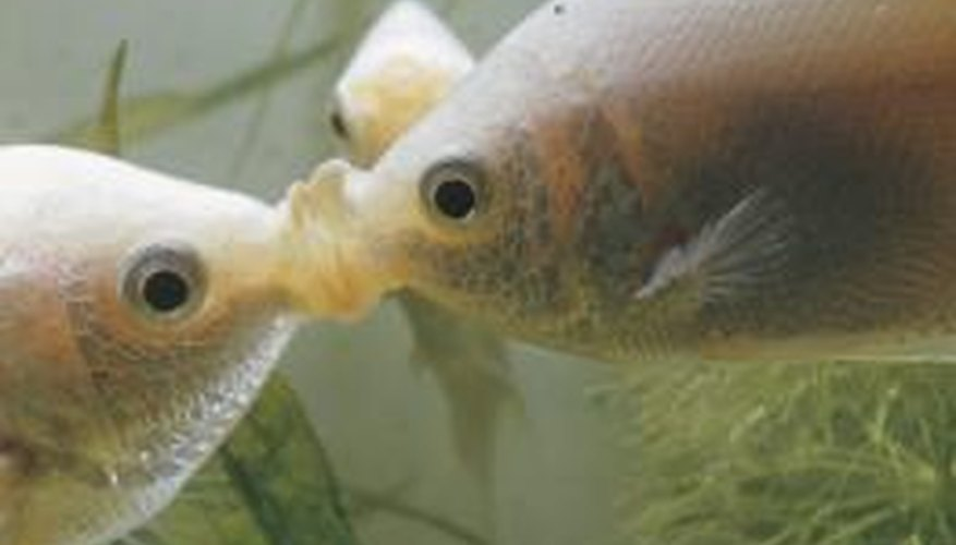 Several factors in aquariums may lead to fish attacking each other.