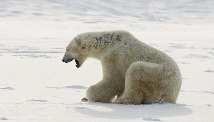 Polar bear on a tundra