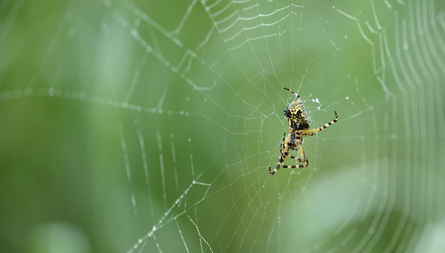 the yellow garden spider has striped legs