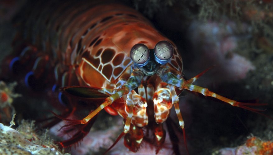 A mantis shrimp hiding in between rocks on the ocean floor.