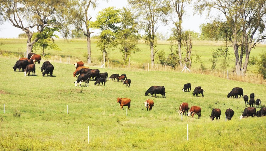 Types of Grass for Cattle Grazing
