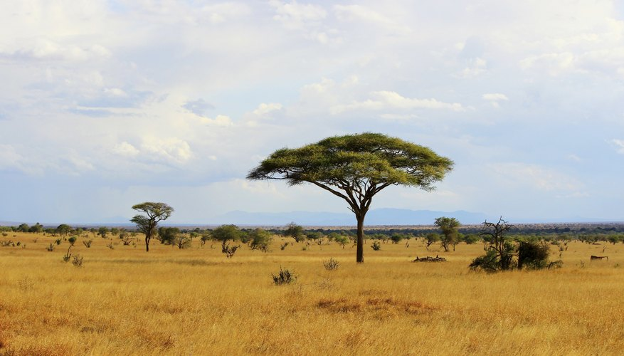 Savannas are the characteristic grassland of Africa.