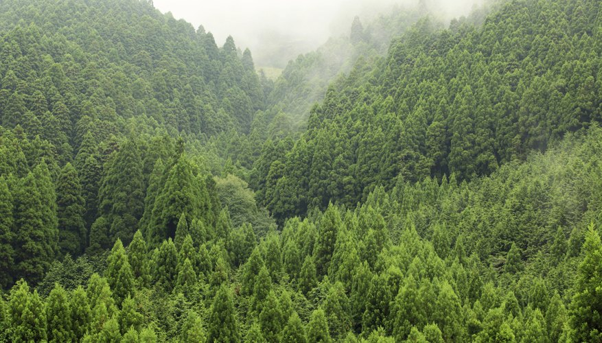 A lush pine tree forest in the mountains.