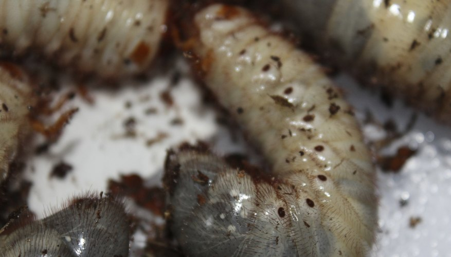 Close-up of grubs