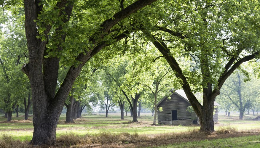 Orchard of pecan trees in rural Georgia