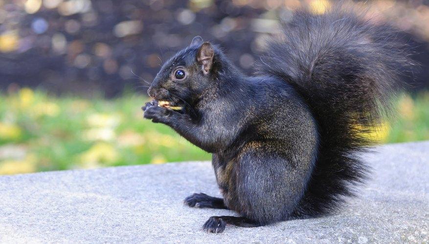 Black squirrel eating.
