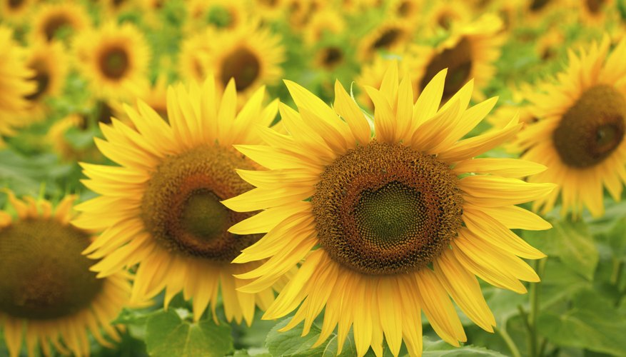 The heads of sunflowers growing in a field.