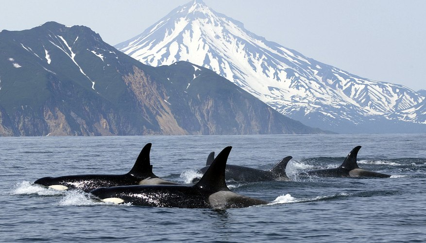 A pod of killer whales swim near a shore.