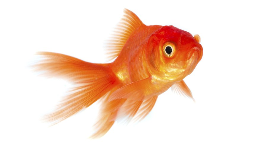 Observe your goldfish to determine what hypothesis you want to test.